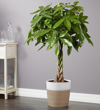 Money Tree Floor Plant for Sympathy